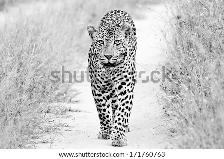 black and white of a big male Leopard walking - stock photo