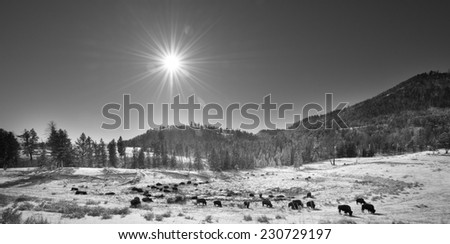 Black and white of a bison herd in Yellowstone National Park, sun showing shining down on the herd - stock photo