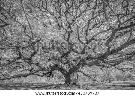 Black and White of Big tree in Kanchanaburi,Thailand - stock photo
