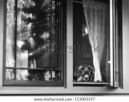 black and white of scared dog looking out of the window with scary Halloween reflection in the window - stock photo