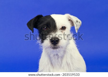 Black and white Parson Russell terrier - studio shot - stock photo