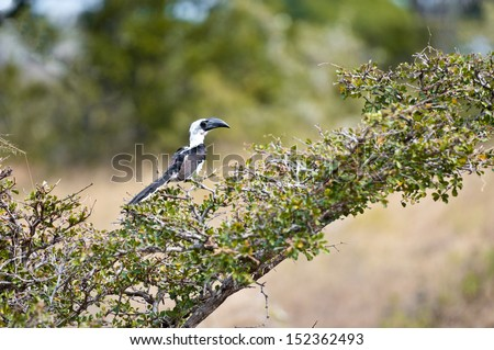 black and white patterned hornbill sitting on a branch - national park selous game reserve in tanzania - stock photo