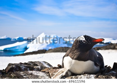 black and white penguin in Antarctica - stock photo