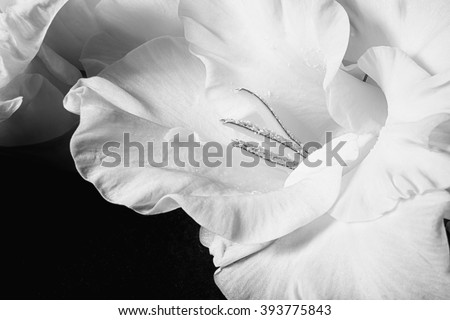 Black and white photo of gladiolus flowers closeup - stock photo