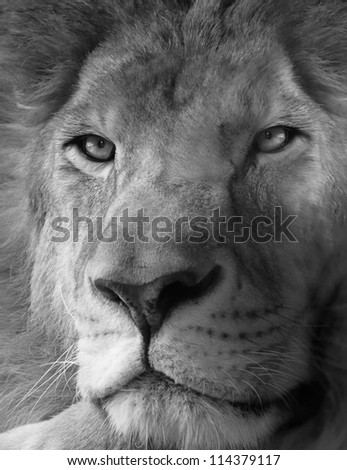 Black and white photo of lion - stock photo