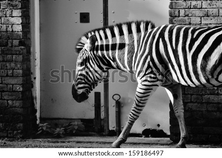 Black and white photo of zebra against wall of house stable - stock photo