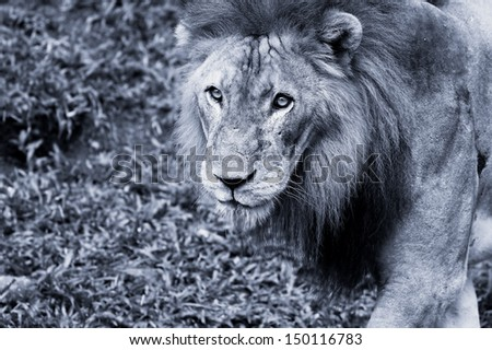 Black and white picture of a Lion in Africa - stock photo