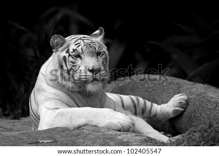 Black and white picture of a White tiger in a tropical forest - stock photo