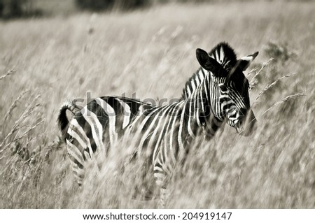 Black and white picture of a zebra in grassland - stock photo