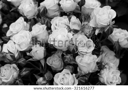 Black and white picture of roses - stock photo