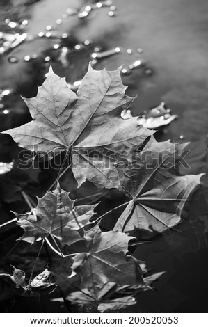 Black and white plant: Leaves on the water, backlighted by the sunset  - stock photo