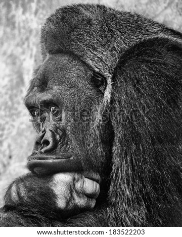 Black-and-white portrait of a gorilla in a zoo - stock photo