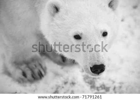 Black and white portrait of a polar bear. Close up a portrait of a polar bear. - stock photo