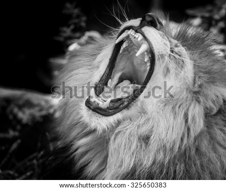Black and white Portrait of  a wild roaring lion - stock photo