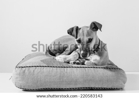 Black and white Portrait of an adorable italian greyhound puppy - stock photo