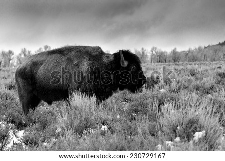 Black and white profile of an aging bison in Teton National Park - stock photo