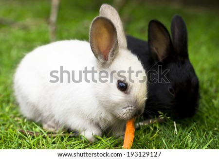 Black and white rabbit babies eating carrot - stock photo