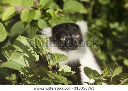 Black-and-white ruffed lemur, Varecia variegata - stock photo