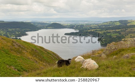 Black and white sheep with elevated view of Ullswater Lake District Cumbria England UK in summer  - stock photo