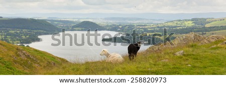 Black and white sheep with elevated view of Ullswater Lake District Cumbria England UK in summer panorama  - stock photo