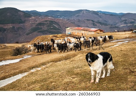 Black and White Shepherd Dog and a Flock of Goats and Sheep walking on a dirt road next to a barn - stock photo