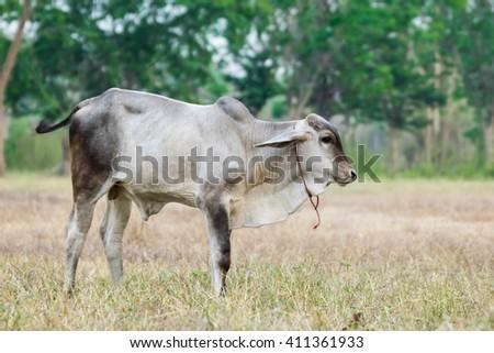 black and white skin ox - stock photo
