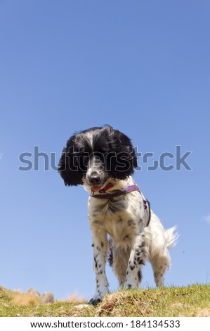 Black and white spaniel shot from below as she looks down from height outdoors against a bright blue sky - stock photo
