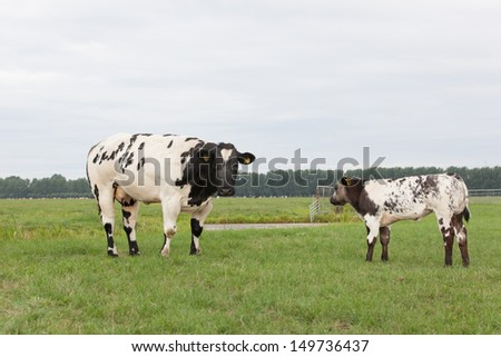 Black and white spotted cow and calf in Dutch meadow landscape - stock photo