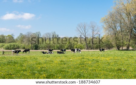 Black and white spotted cows in a fresh green meadow full of yellow blooming buttercups. - stock photo