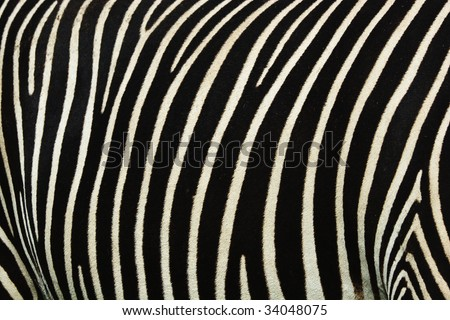 Black and white strips on a skin of a zebra - stock photo