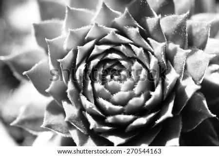 black and white succulent plant pattern  - stock photo