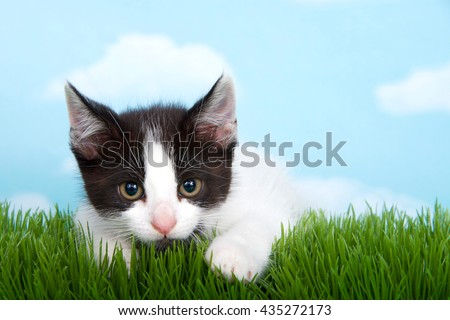 black and white tabby kitten laying in long grass with blue background white fluffy clouds - stock photo