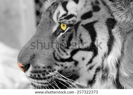 black and white tiger - stock photo