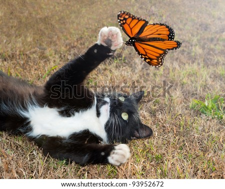 Black and white tuxedo cat playing with an orange butterfly in flight - stock photo