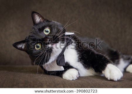 Black and White tuxedo cat wearing a bowtie - stock photo