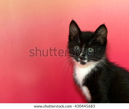 Black and white tuxedo tabby cat portrait of on pink textured background with copy space to side - stock photo