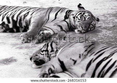 Black and white two  tigers sleepy / Two tigers sleepy - stock photo