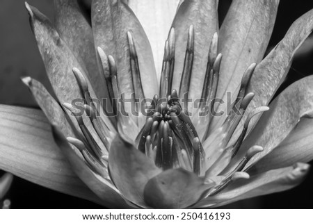 Black and white. with yellow stamens of the lotus flower - stock photo