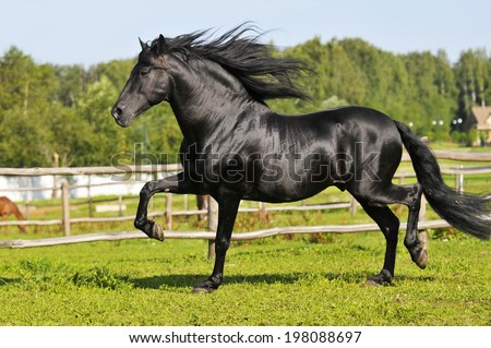 Black Andalusian horse runs trot - stock photo