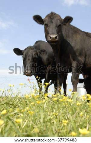 Black Angus and Yellow Flowers - stock photo