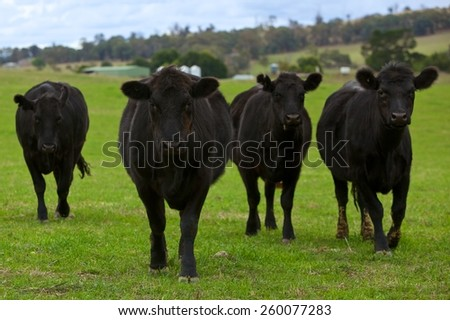 Black Angus cattle on green pasture - stock photo