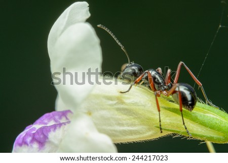 Black Ant Crawling on white flower - stock photo