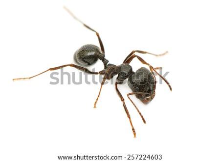 black ant isolated on white background - stock photo