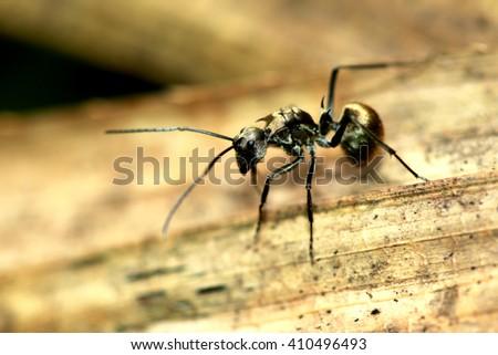 Black ant on dry leaf - stock photo