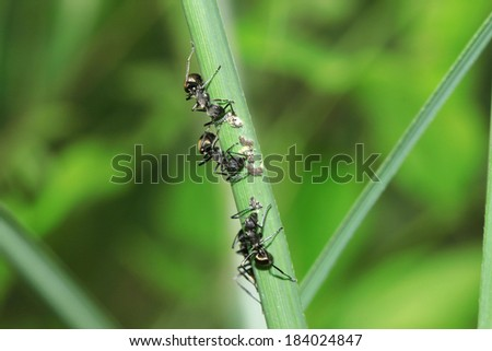 black ant with insect egg on grass blade - stock photo