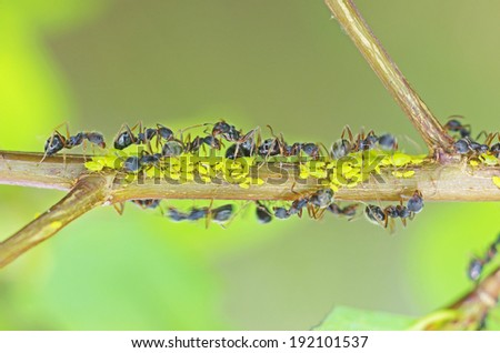 black ants are taking care aphids on the tree branch - stock photo