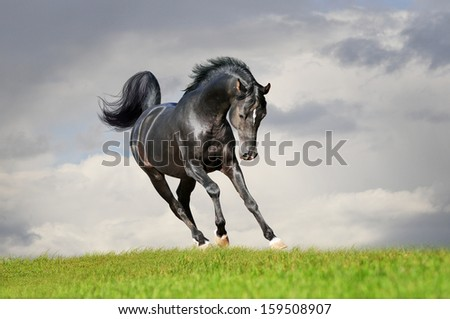 black arab horse in the summer - stock photo