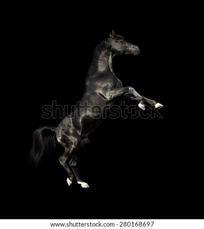 black arabian horse rearing isolated on black - stock photo