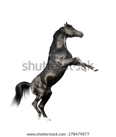 black arabian horse rearing isolated on white background - stock photo