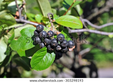 Black ashberry (Aronia melanocarpa) tree with ripe berry - stock photo